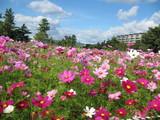 武庫川河川敷のコスモス園
