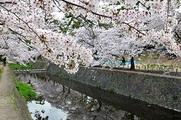 ステーション4月号を見て夙川の花見に行ってきました。