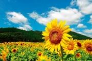 夏本番 ひまわり畑に行こう!