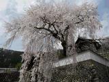 佐用町・播磨一本堂の大糸桜と、絶品手作りジェラート